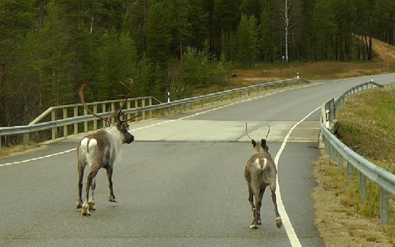 Roadway Casualties and Hitting an Animal