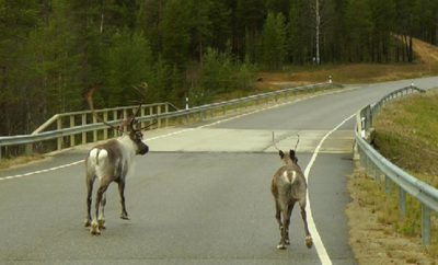 Cottage Rentals Safety:  Roadway Casualties and Hitting an Animal